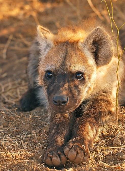 Young Hyena.