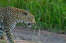 Leopard at Sabi Sand.