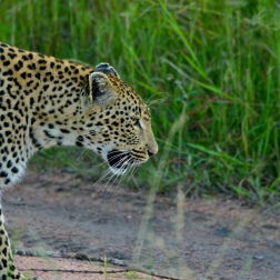 Leopard at Sabi Sand.