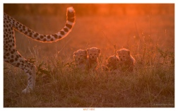 Edition 52 NPhoto 2015. Cheetah's at sunrise Kenya!