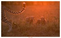 Edition 52 NPhoto 2015. Cheetah's at sunrise Kenya!