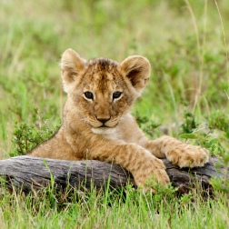 Young cub waiting for her mother.