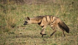 Aardwolf at Masai Mara, Kenya.