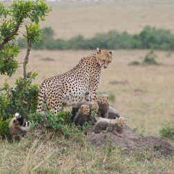 Cheetah with 6 cubs at Masai Mare, Kenya.