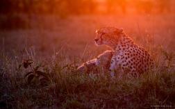 Cheetah and cubs at sunrise.