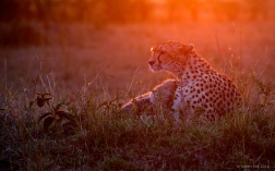 Cheetah and cubs at sunrise.