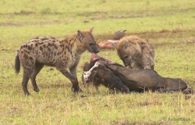 Hyena's at Masai Mara, Kenya.