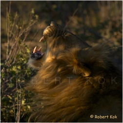 Lion at Madikwe, South Africa.