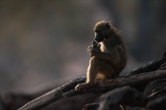 Charm baboon with backlight at Chobe, Botswana.