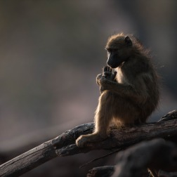 Charm baboon with backlight at Chobe, Botswana.