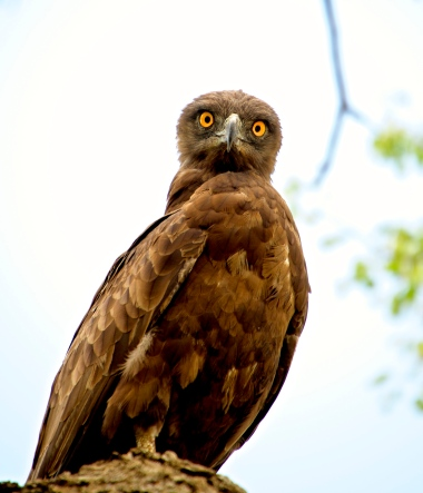Bruine Slangenarend (Brown snake eagle)