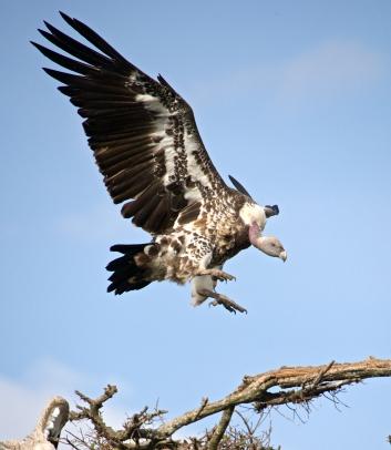 White-backed vulture/Gyps Africanus.