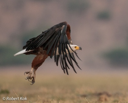 Africana Fish Eagle at Chobe, Botswana.