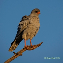 Pale Chanting Goshawk.