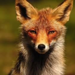 red-fox_7079985395_o