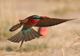 Southern Carmine Bee-Eater in Namibia
