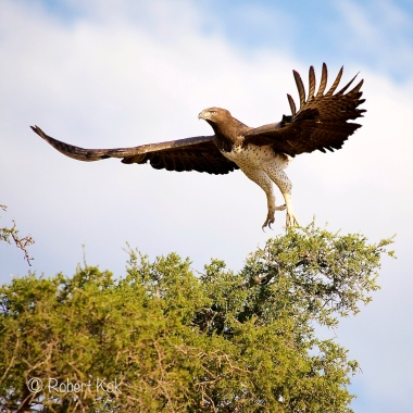 Take off of the Martial Eagle!
