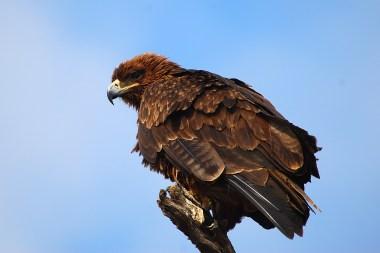tawny-eagle_7430954456_o