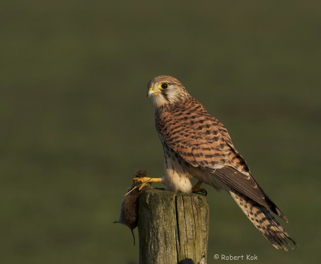 European Kestrel.