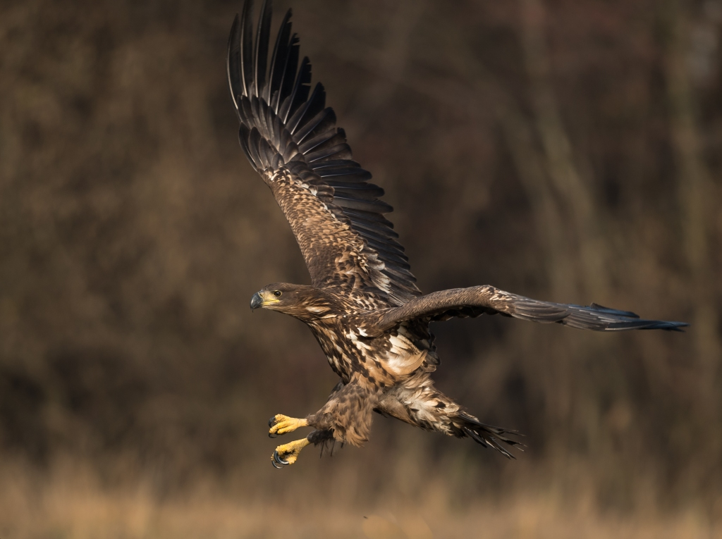 Approaching White-tailed Eagle!
