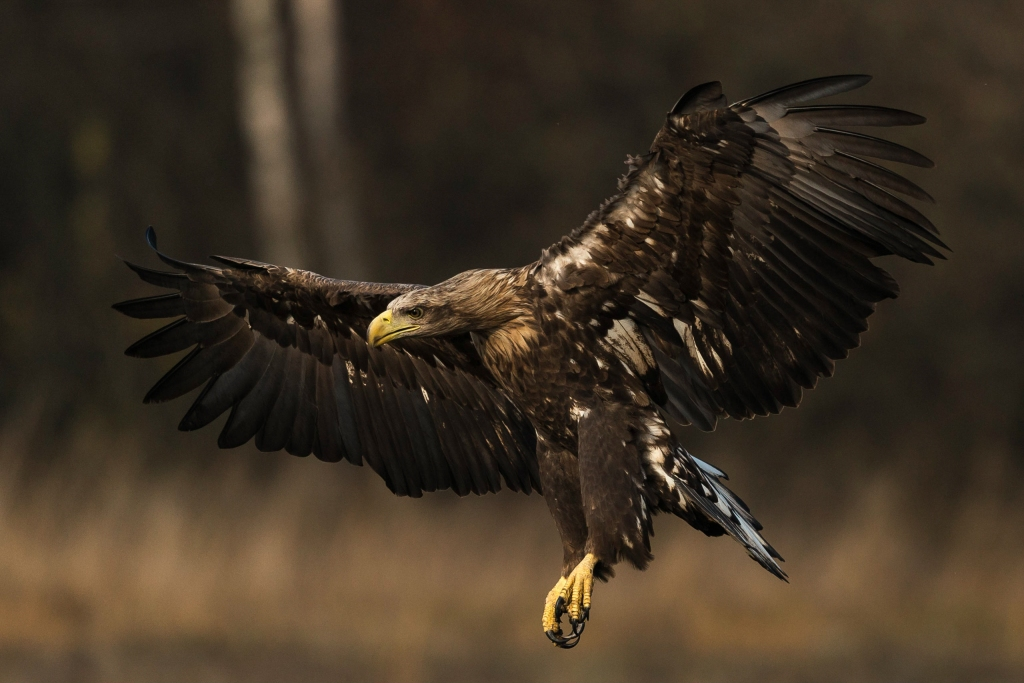 Approaching immature White-tailed Eagle!